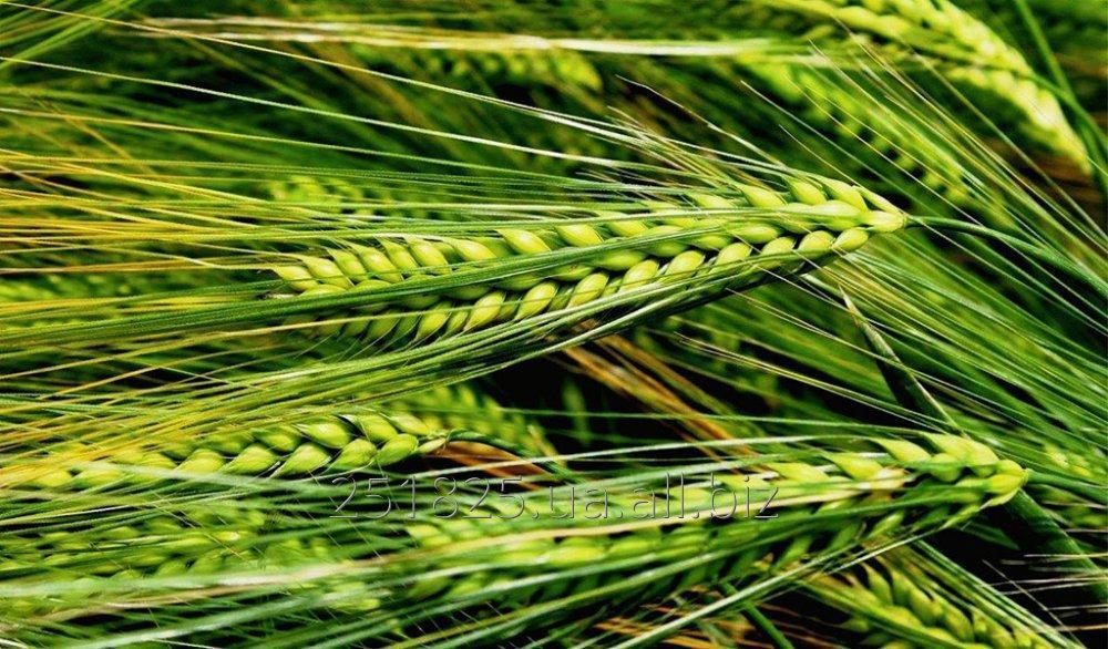 """Купить Семена, посевной материал Ячменя """"Буффало"""" """"Buffalo"""""""