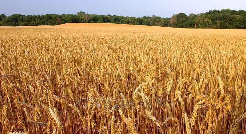Купить Семена ПОСЕВ.МАТ. Пшеницу Леннокс/Lenoks