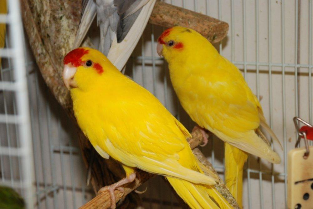 Купить Прыгающий попугай какарик, самый яркий попугай
