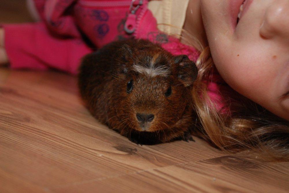 Купить Морская свинка крестед, ручные малыши
