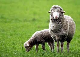 Meat of a lamb, Lambs, Rams breeding, Wool sheep, Cheeses sheep, Fur of a  ram, Sheep, Production of animal husbandry, Farm animals, Sheep breeding,