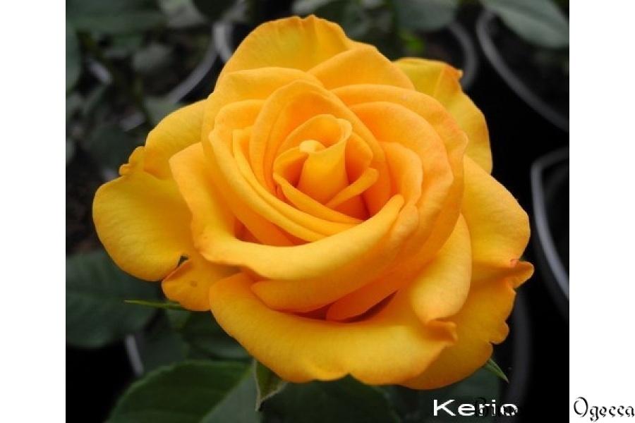 желтые розы сорта и виды фото с названием и описанием бархатного пиджака