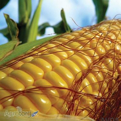 Купить Семена кукурузы Гран 220 / п.о.