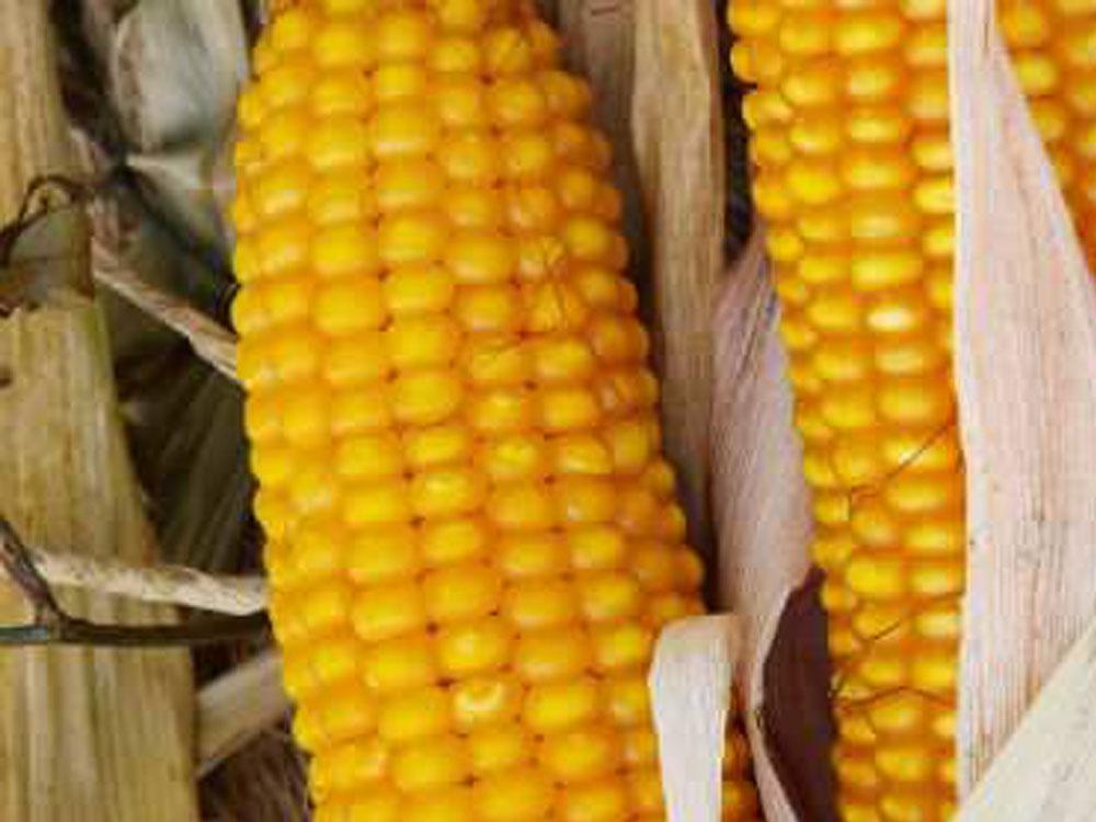 Купить Семена кукурузы Тесла / п.о.