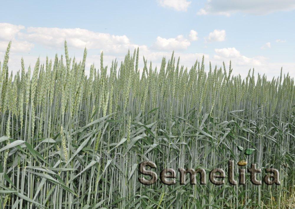 Купить Озимой пшеницы «Риверо»