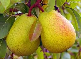 Pears wholesale