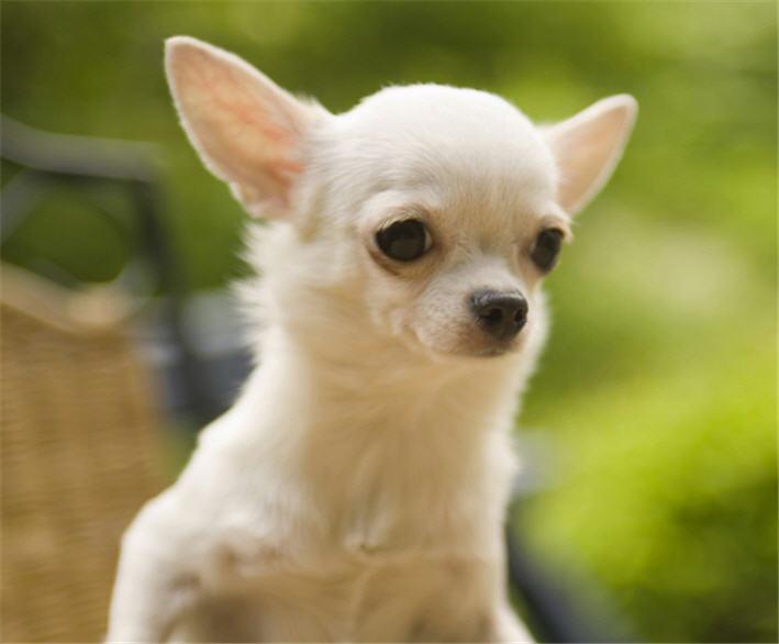 цена собаки чихуахуа фото