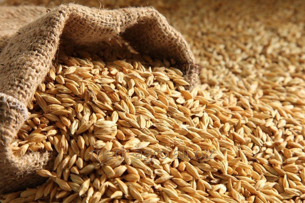 Ячмень кормовой БЕЗ ГМО от 500 тонн навалом / 50 кг ПП мешки