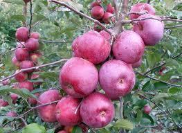 Купить Яблоки сорт Флорина опт