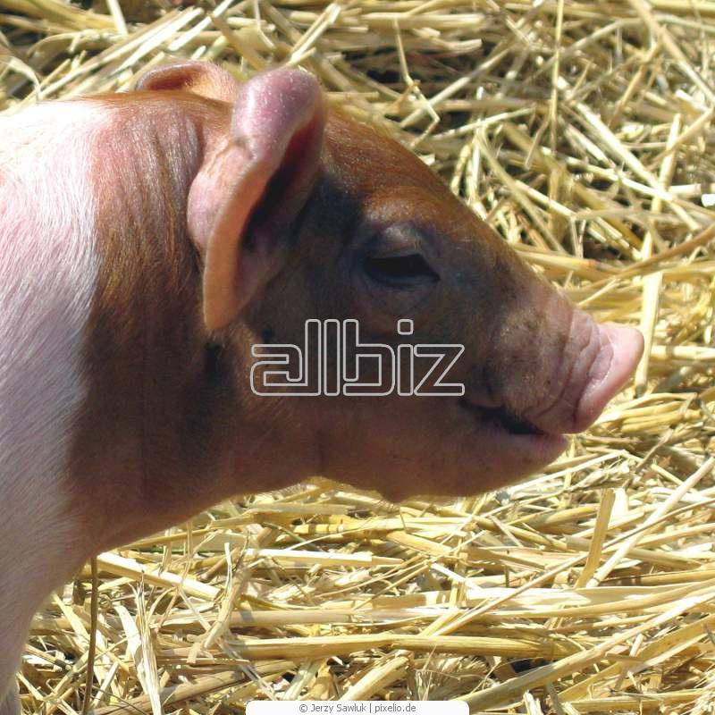Купить Свиньи племенные, Свиньи для разведения стада