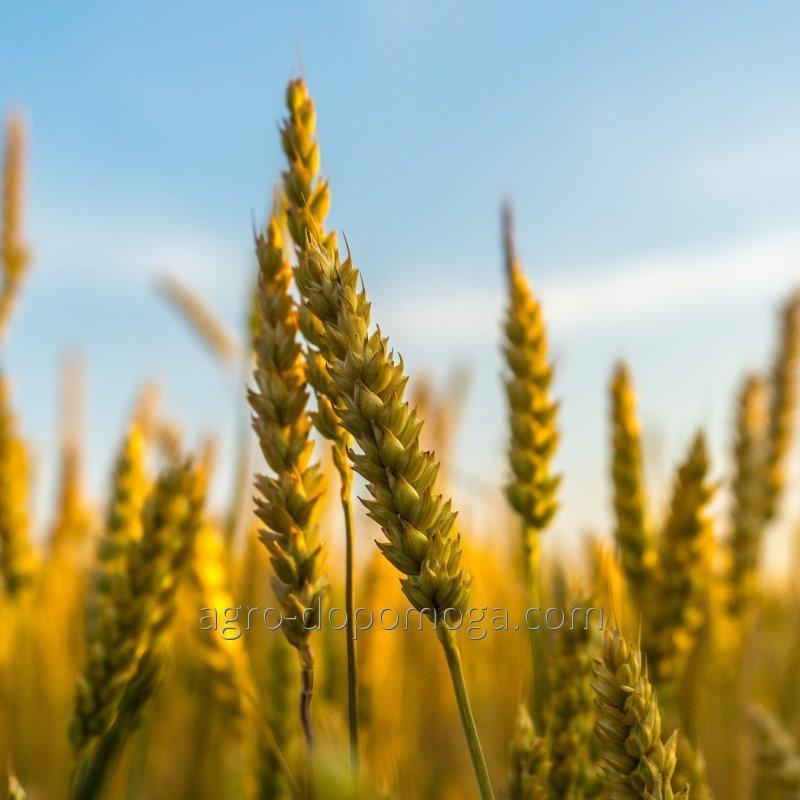Пшеница озимая Симонида элита