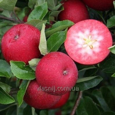 Яблоня Тринити