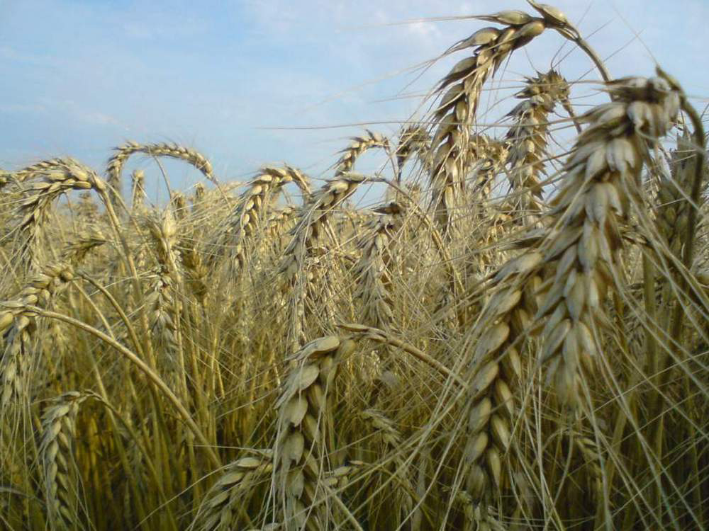 Купити Пшениця