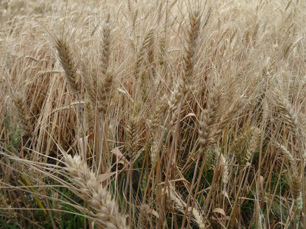 Купить Насіння пшениці Благодарка Одеська (еліта)
