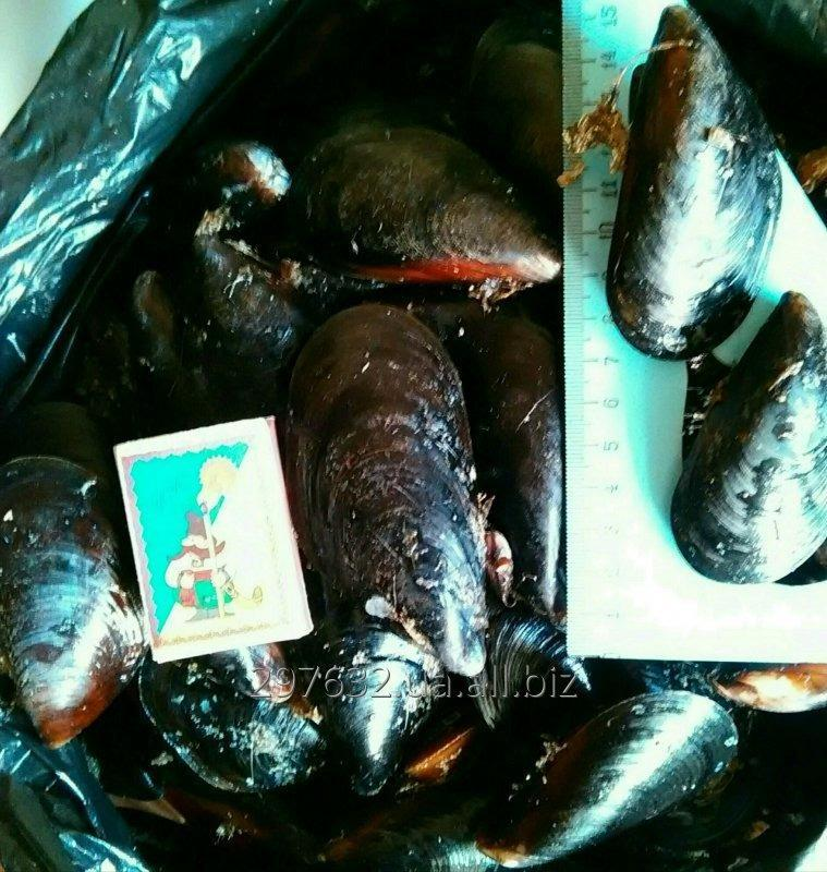 Купить ЖИВЫЕ черноморские мидии рапаны устрицы