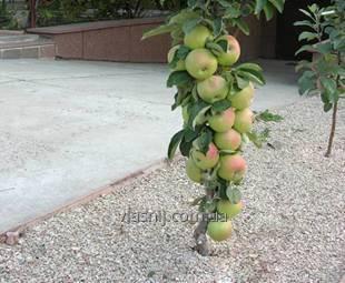 Яблоня колоновидная Трайдент