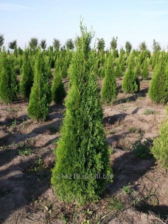 Купить Туя западная Смарагд (Smaragd) 150 см питомник