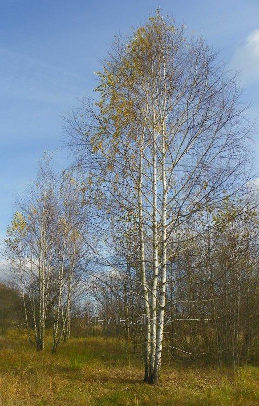 Buy Saplings of a birch fluffy and warty