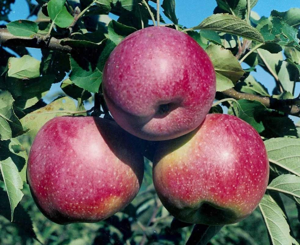 Image result for florin apples ukraine