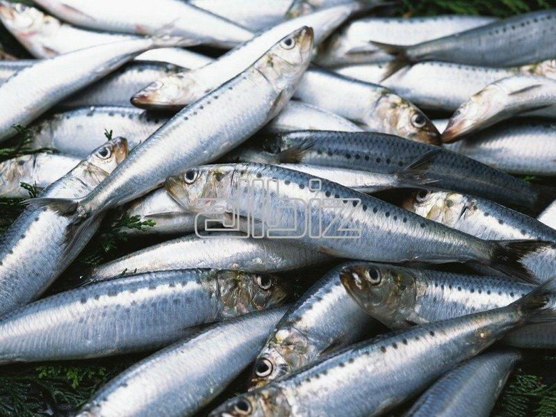 рыба фото салака