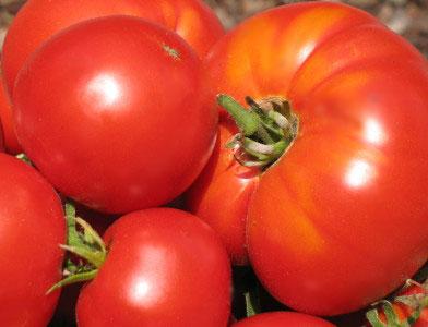 Купить Помидоры, Выращивание и продажа плодоовощных культур: морковь, помидоры, кабачки и проч. Также, саженцы яблонь.