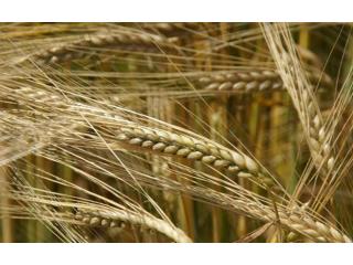 Ячмень. Оптом  зерно от производителя Львовщины. Опт по Украине. Самовывоз