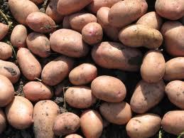 Купить Картофель посадочный