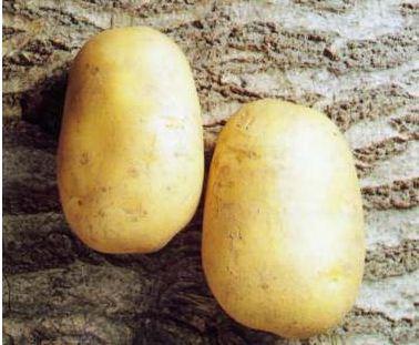 Купить Картофель семенной Агаве