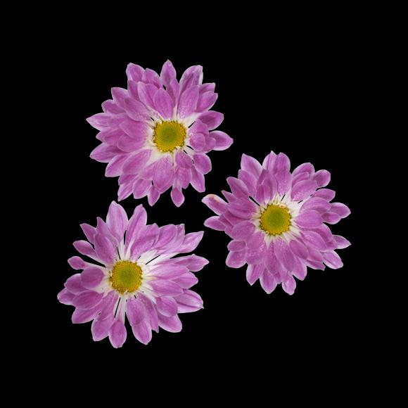 Купить Хризантема кустовая Passoa Pink. Хризантема Пассоа пинк
