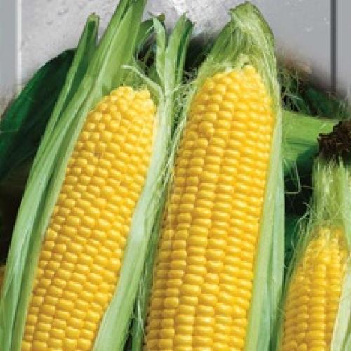 Купить Семена кукурузы Пустоваровский 280 СВ