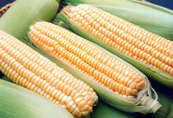 Купить Семена кукурузы Хмельницкий