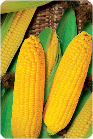 Купить Семена кукурузы Яринин 176 СВ