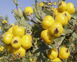 Купить Саженцы боярышника желтый