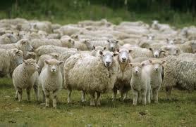 Овцы, Экспорт, доставка. ОПТ крупный из Одессы