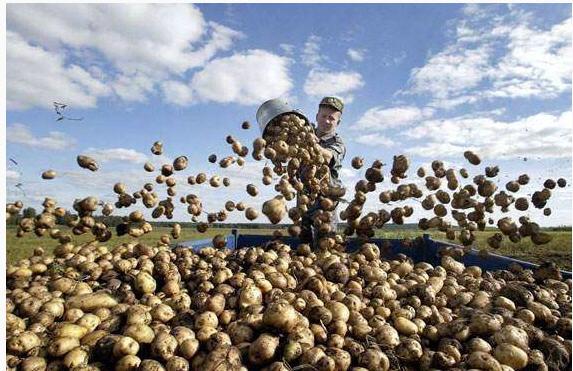 Картофель. Оптовые продажи
