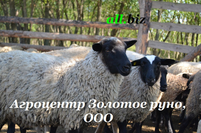 Buy Mutton, mutton sale by live weight, in Ukraine, the price from the producer, export.