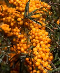 Sea-buckthorn extrac