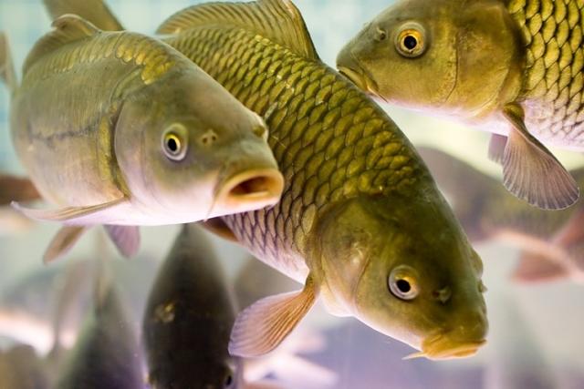 рыбалка на толстолобика и белого амура