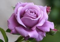 Купить Розы плетистые, Украина Киевская область