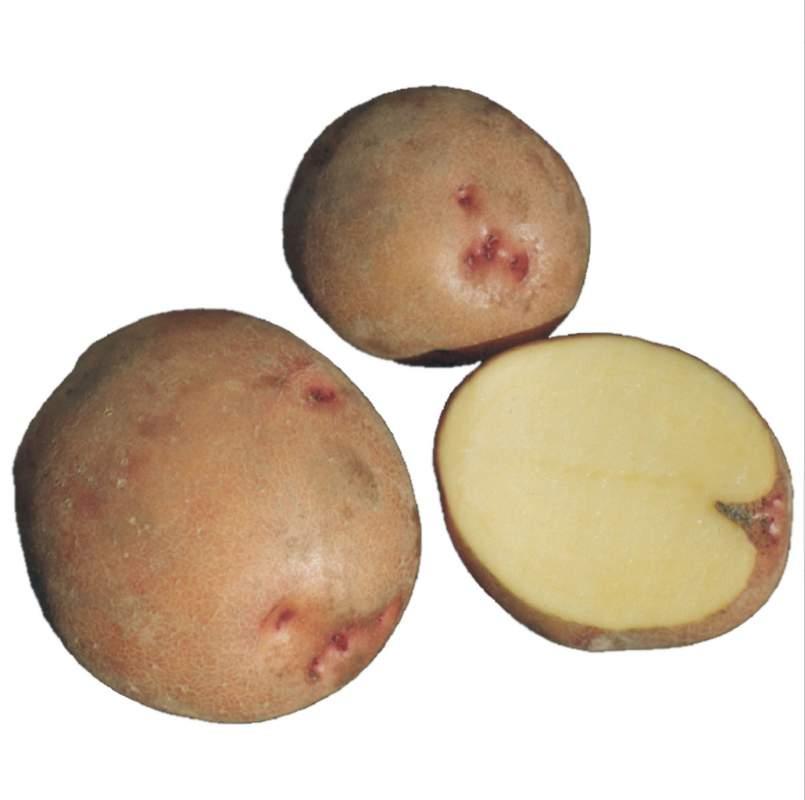 """Картофель семенной. Сорт """"Повинь"""""""