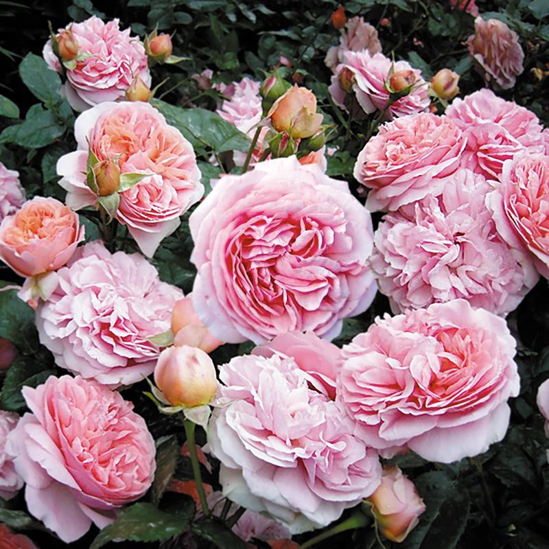 Розы рассада купить