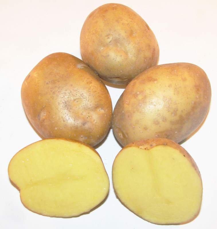 """Картофель семенной. Сорт """"Скарбница"""""""