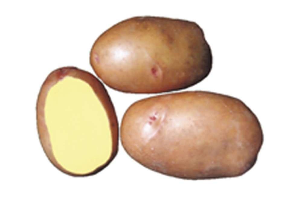 """Картофель семенной. Сорт """"Слов'янка"""""""