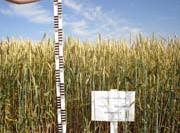 Buy Seeds of grain crops