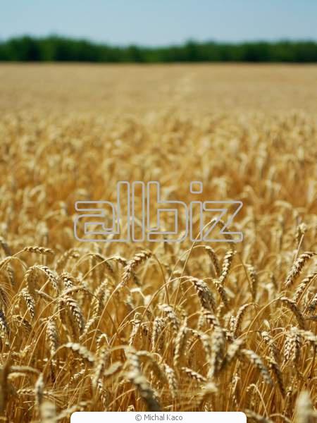Купить Пшеница Киев