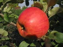 Купить Яблоки Джонаголд недорого.Зимний сорт.