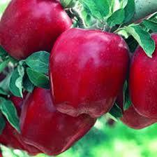 Купить Яблоки Сорт Старкрымсон, Мякоть светло-зеленая хорошего сладко-кислого десертного вкуса, ароматная, сочная