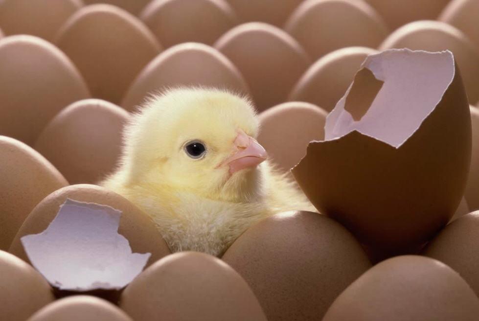 фото яйцо инкубационное