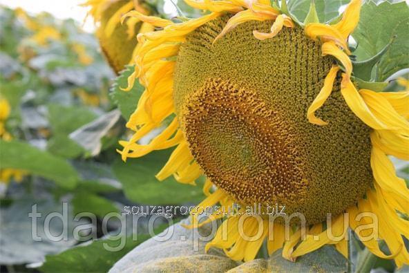 Купить Семена подсолнечника Айдар, стандарт, 102-107 дней