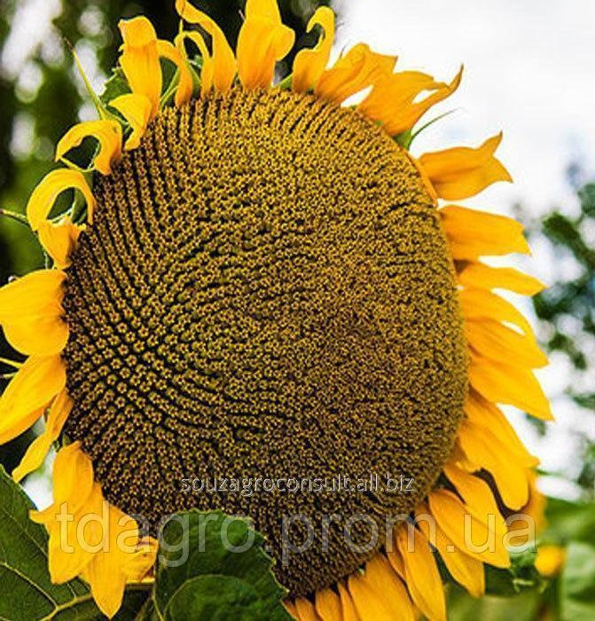 Семена подсолнечника Рекольд, экстра, под гранстар